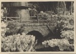Photograph of Dutch windmill & tulips, undated